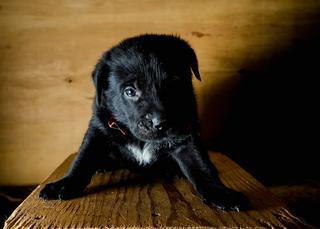 Hoagie (PA Pups)