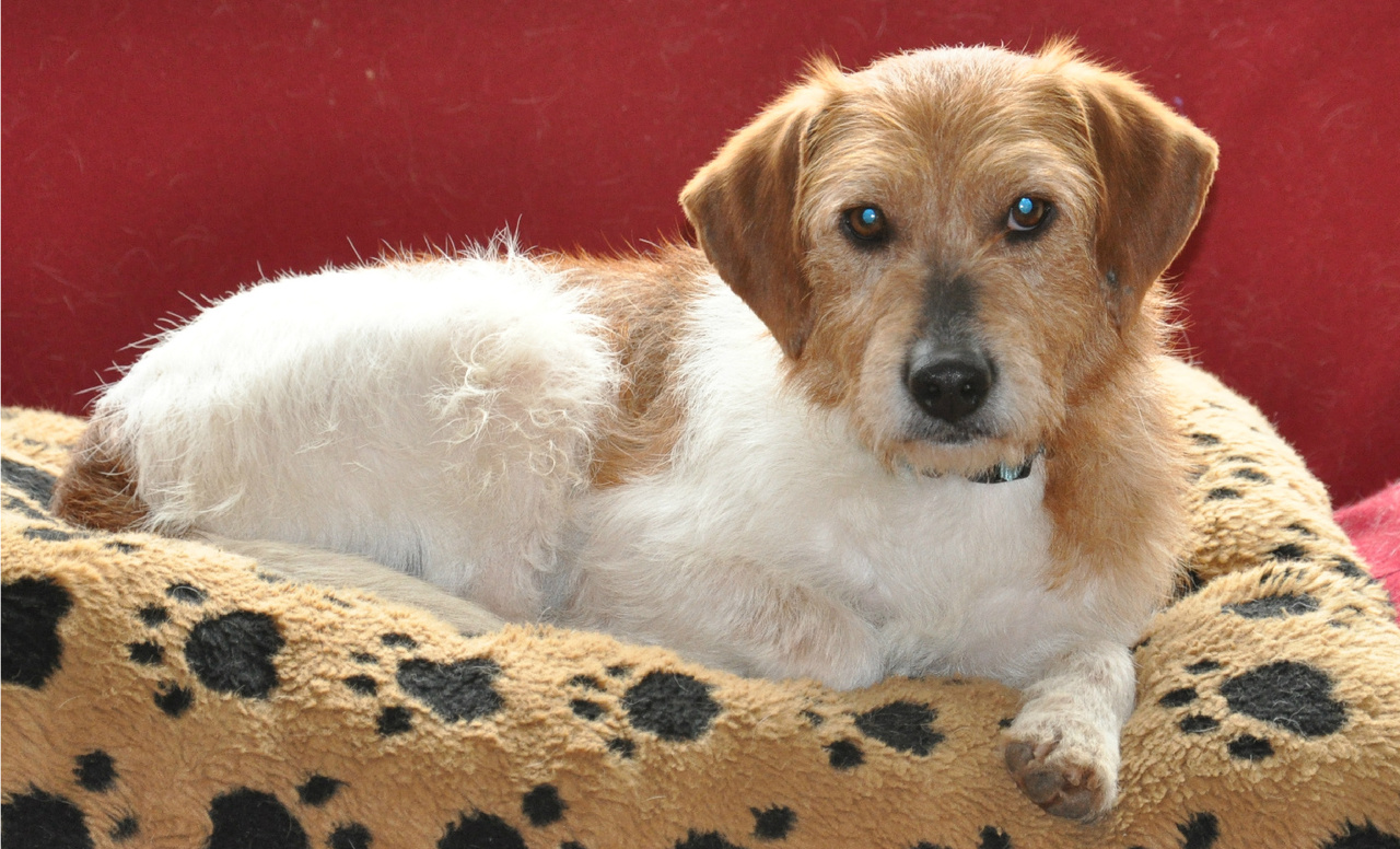 Operation Paws for Homes   Ben ~ The Wire Haired Terrier