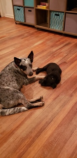 Australian Cattle Dog (Blue Heeler)